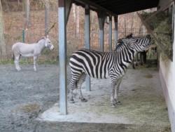 ... Single-Wohnung ins Nachbargehege zu den drei Böhm-Zebras gezogen